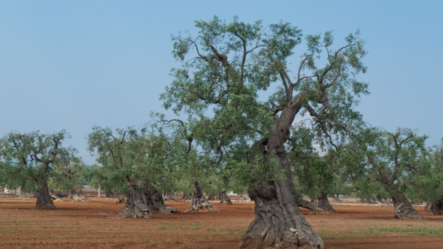 Ancient olive trees in the Puglia countryside