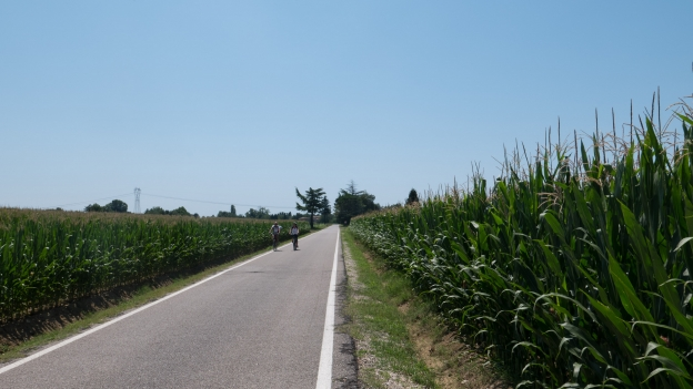 Cyclists riding the Ciclovia Alpe-Adria Radweg (FVG1) though fields of maize south of Udine