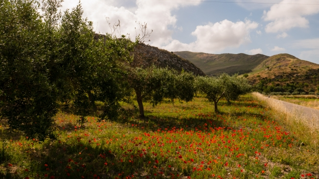 Sicilia - poppies and olive trees