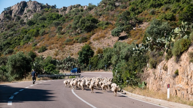 Traffic on the SS125: shepherd with flock on the SS125 near Lotzorai